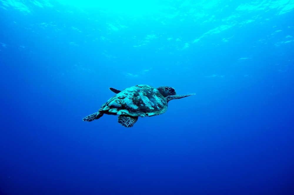 sea turtle bali