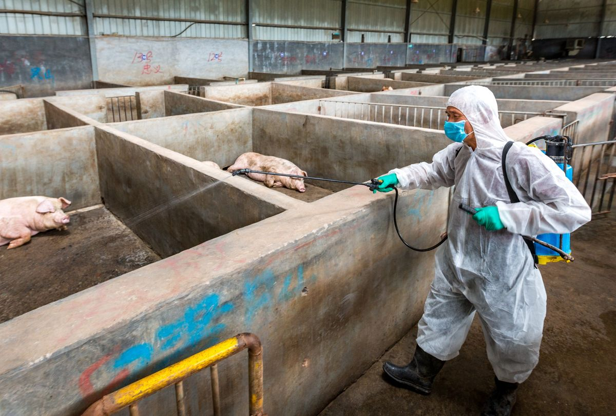 More Pigs Drop Dead in Bali As Mystery Swine Disease Feared Spreading In Bali