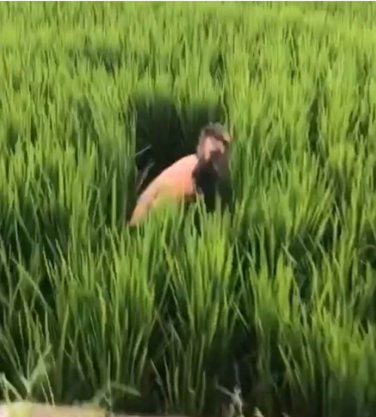 foreigner jumps into rice paddy