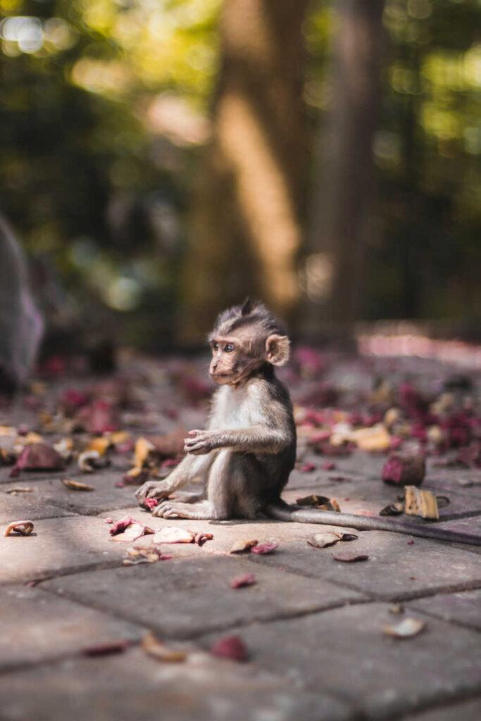 Bali MOnkey in forest (1)