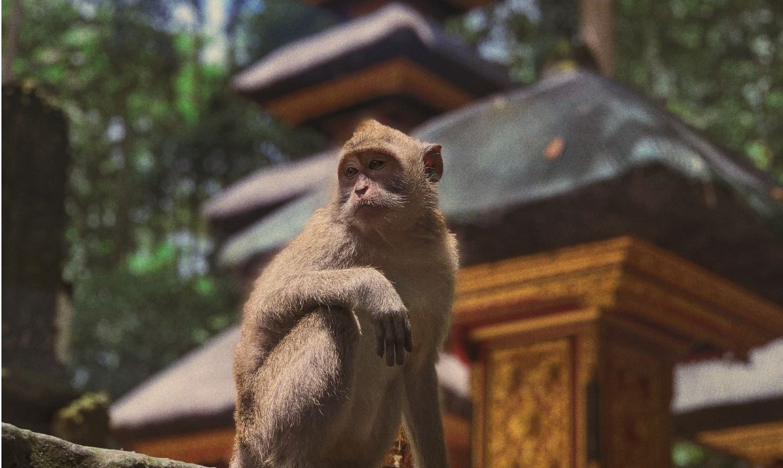 Gianyar and Ubud's Monkey Forest Targets Reopening For July 9th