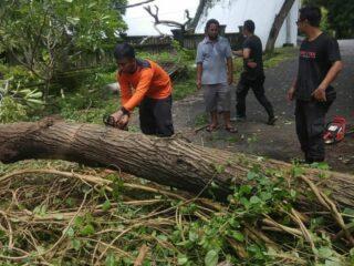 Collapsed Tree Blocks Road Access Between Denpasar And Gilimanuk