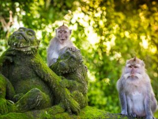 Monkeys at the Ubud Monkey Forest began to invade residents' houses as they started to run out of food supply